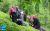 Women_at_Tea_Fields